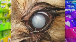 Dog's eye with cataracts